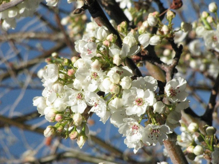 Pear BlossomsApril 2014021